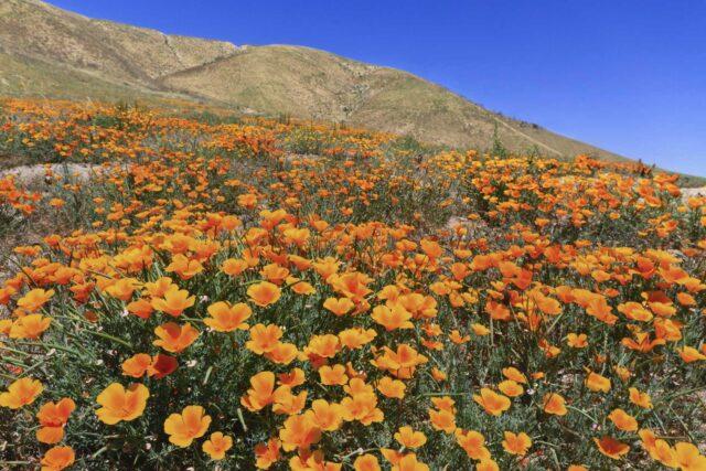 photo - California Poppies on a Hillside