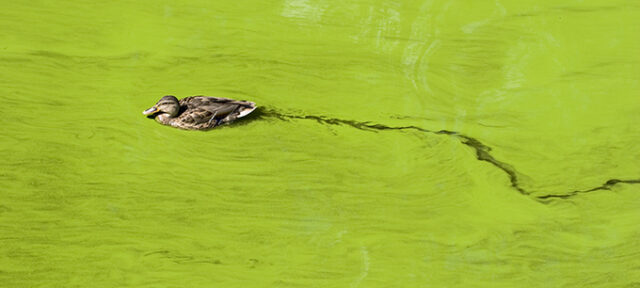 Bright Green Lake Filled With Algae And A Floating Duck