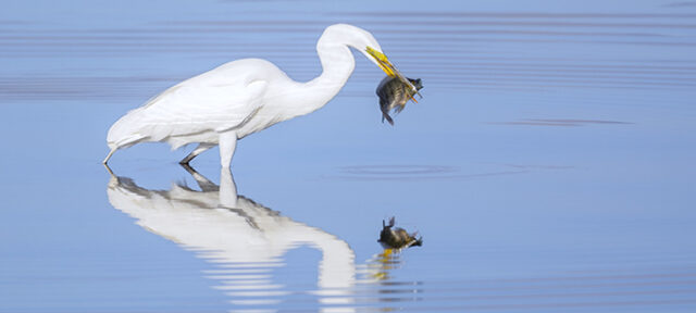 Great Egret With Huge Meal