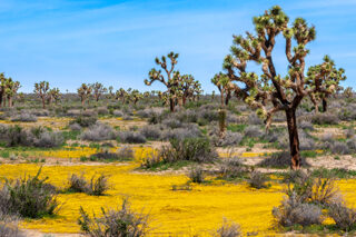 photo - Spring season in the Mojave Desert of California with Joshua Trees and yellow wildflowers