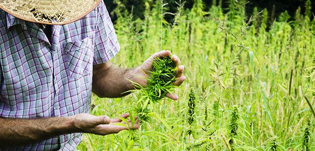 Man Harvesting Medical Marijuana