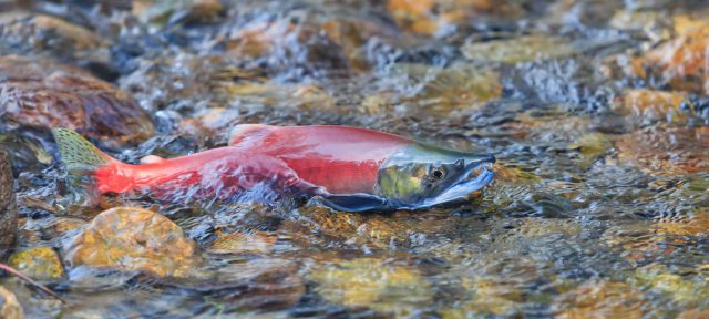 Salmon in stream near Lake Tahoe