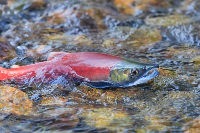Salmon in stream near Lake Tahoe