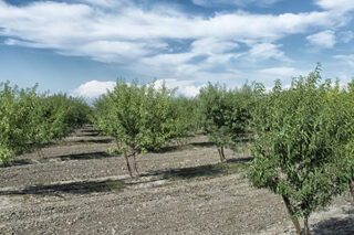 Photo of almond orchard in California