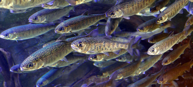 School Of Juvenile Coho Salmon