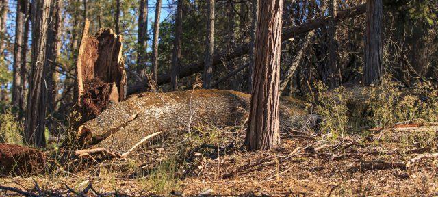 Dead trees of California