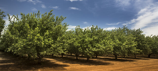 Almond orchard in Salinas, CA