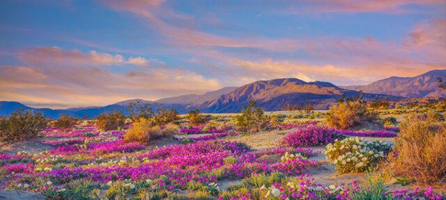 Spring Desert Wildflowers In Anza Borrego Desert State Park, CA