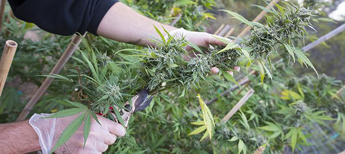 Harvesting Marijuana By Hand