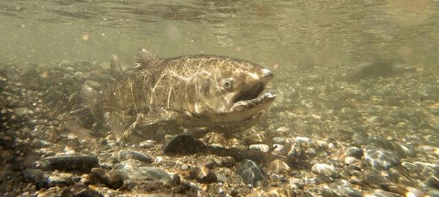 KMG Gopro Fish 14005