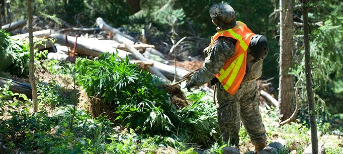 MarijuanaCropParkRanger