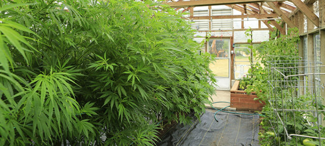 Marijuana ( Cannabis), Hemp Plant Growing Inside Of The Green Ho