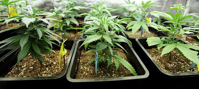 Several Pots Of Marijuana Growing