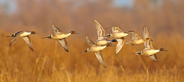 Northern Pintail (Anas acuta) by GaryKramer.net