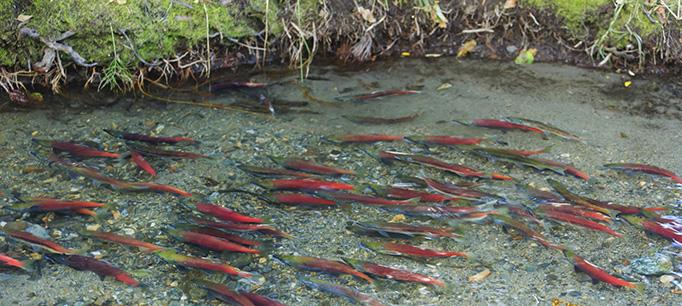 Salmon, Lake Tahoe