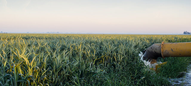 Wheat Fields Recieve Water In Southern San Joaquin Valley.