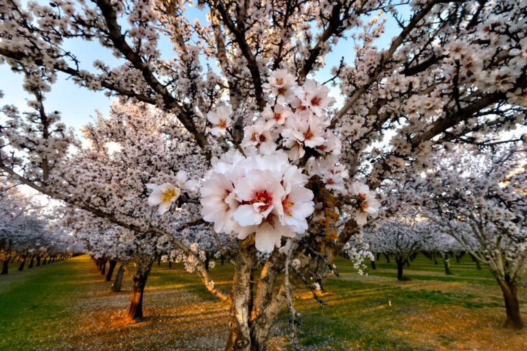 photo - Almond Blossoms