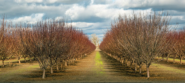 Photo of almond trees in San Joaquin Valley, California