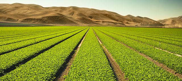 photo - Celery field in the Salinas Valley, California
