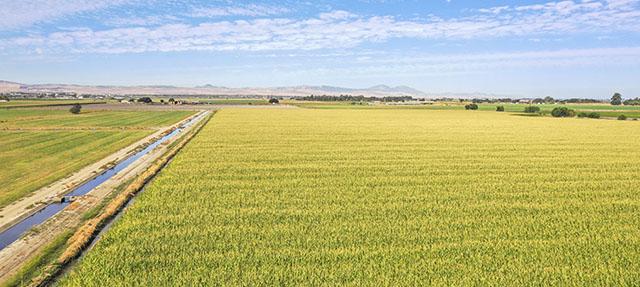 photo - cornfield