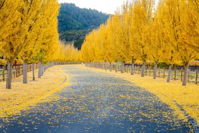 photo - Falling Leaves From Trees on a Road in Napa, California