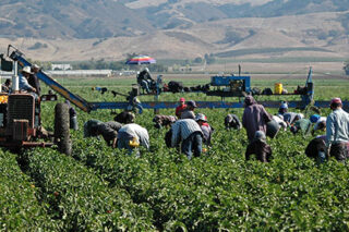 photo - Farm Workers Harvesting near Gilroy, California