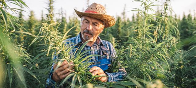 photo - Farmer in a cannabis field