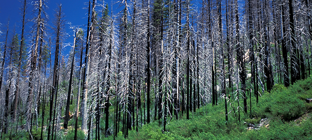 Forest Trees After Fire