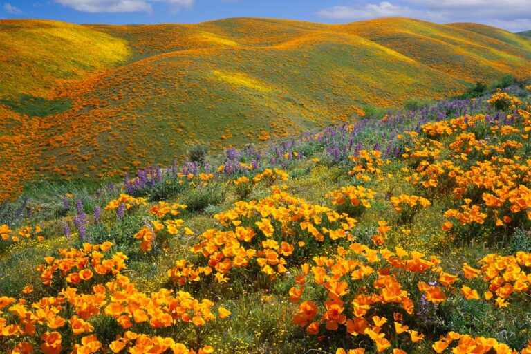 photo - Golden Poppies Covering Hills