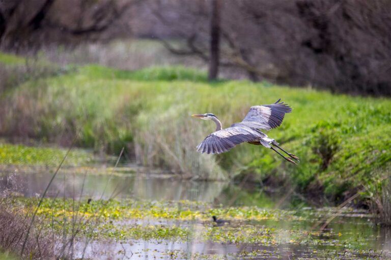 photo - Great Blue Heron at Merced Wildlife Refuge