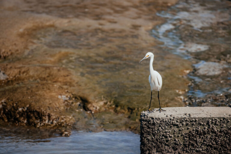 photo - Great Egret at the Shoreline
