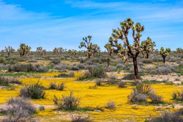 photo - Joshua Trees and Yellow Wildflowers in the Mojave Desert