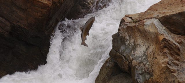 photo - Leaping Salmon