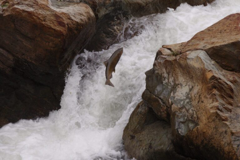 photo - Leaping Salmon