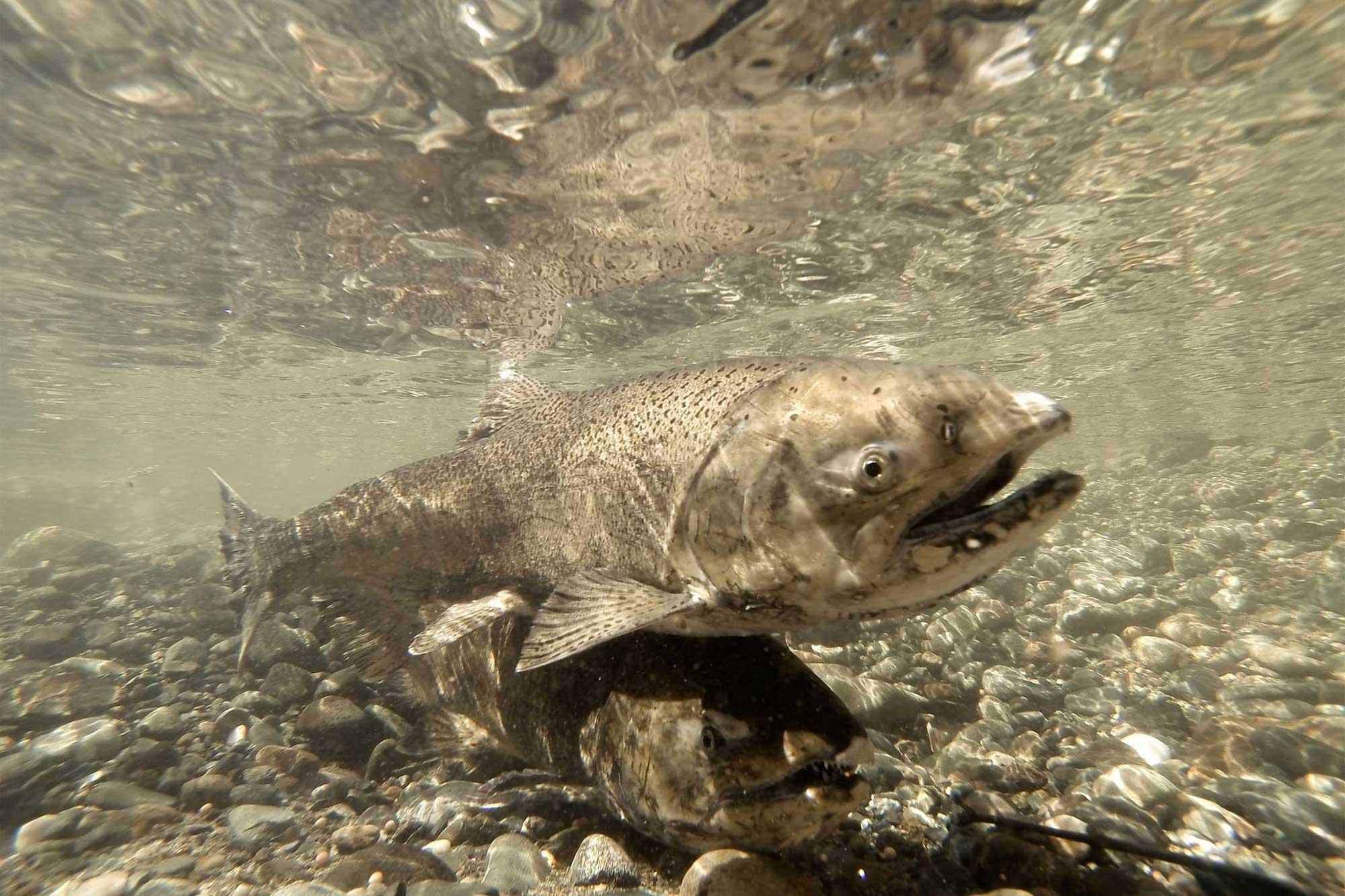 photo - photo - salmon-pixel-ca-dwr-KMG_gopro_fish_14043
