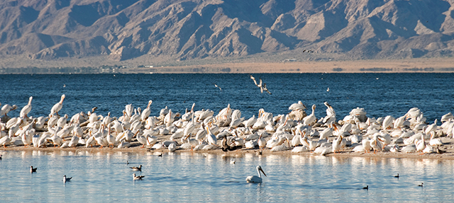 Salton Sea White Pelicans