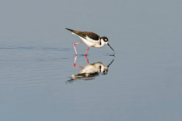 photo - shorebird