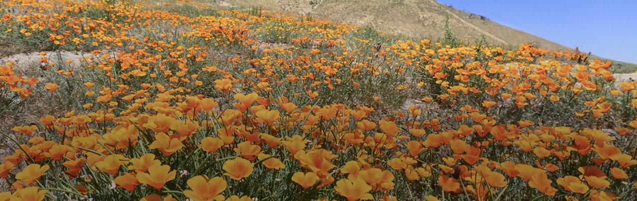 photo - California Golden Poppy