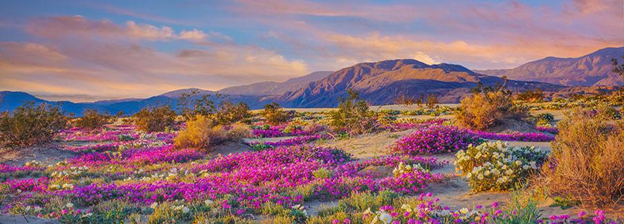 photo - Spring Desert Wildflowers In Anza Borrego Desert State Park