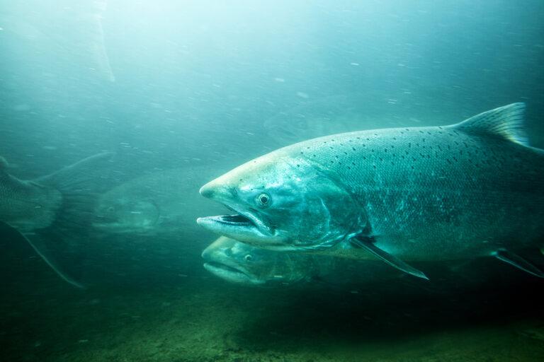 photo - steelhead trout
