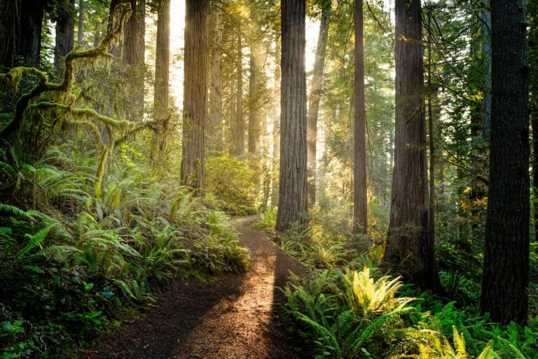 photo - Sunrise in Redwood National Park