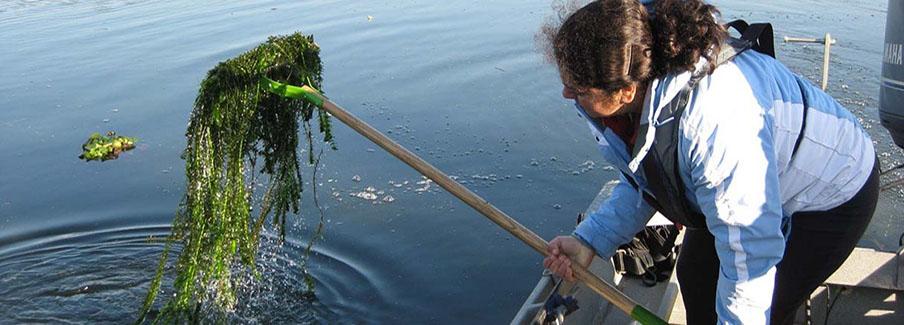 photo - Brazilian Waterweed
