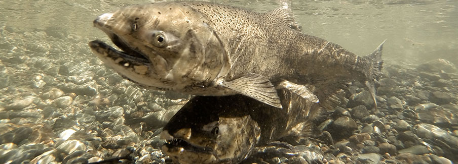 photo - Salmon Pixel CA DWR-KMG_gopro_fish_14043
