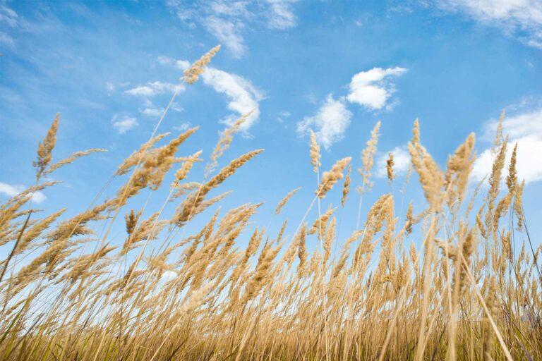 photo - Wheat