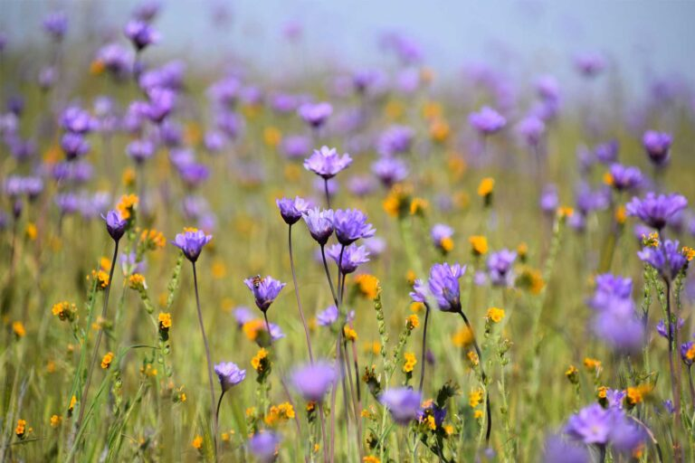 photo - Wildflowers at Wind Wolves Preserve in Bakersfield, California