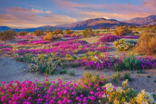 photo - Spring wildflowers in Anza Borrego Desert State Park